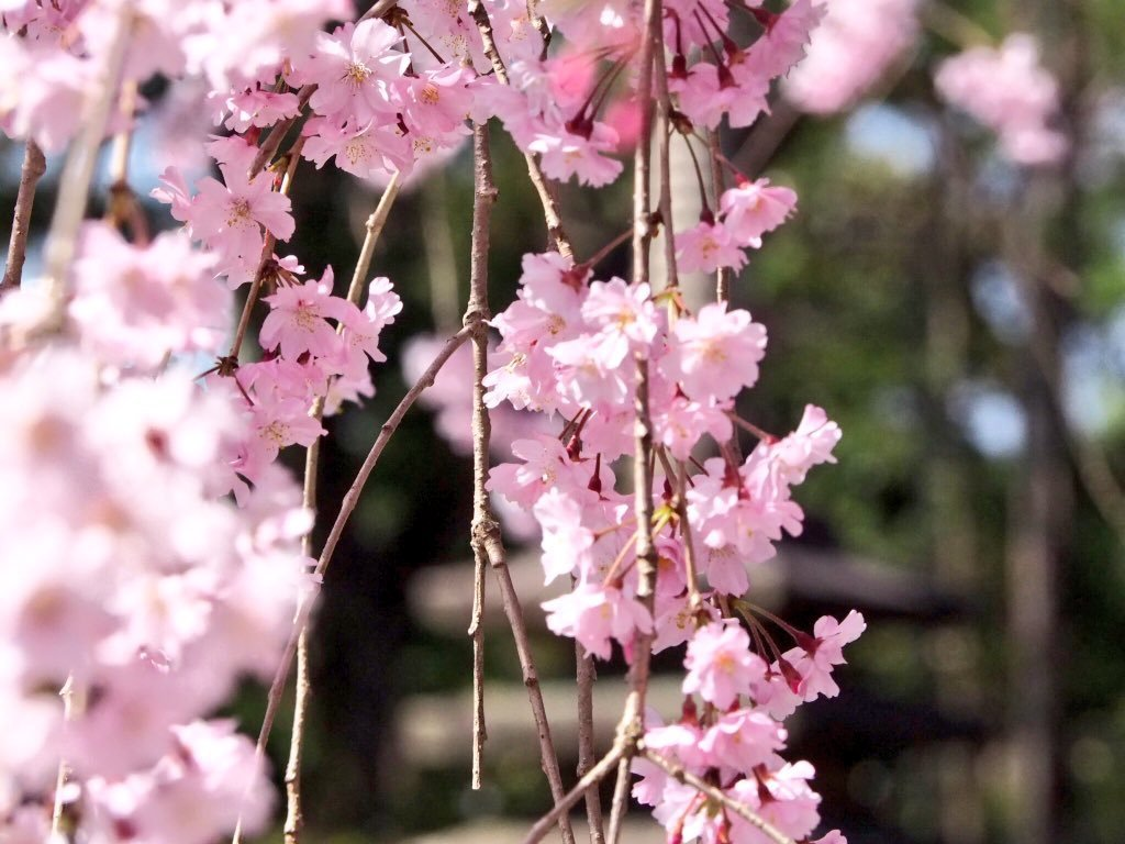 八重紅枝垂桜 五分咲き 2018年3月30日(平年4月7日相当) 撮影:MKタクシー