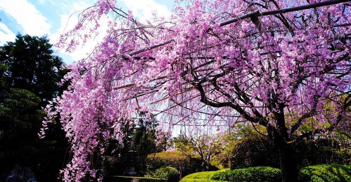 八重紅枝垂桜 見頃 2020年4月5日(平年4月10日相当) 撮影:MKタクシー