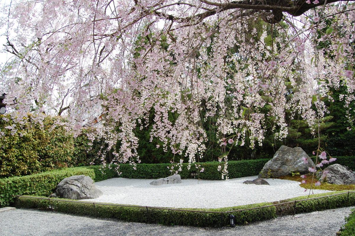 八重紅枝垂桜 散りはじめ 2008年4月12日(平年4月12日相当) 撮影:MKタクシー