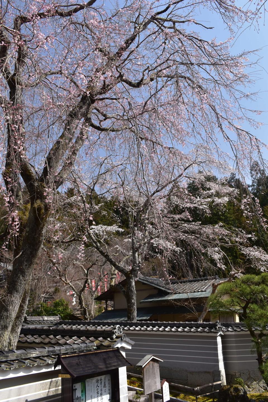枝垂桜 五分咲き 2021年3月17日(平年3月28日相当) 撮影:MKタクシー