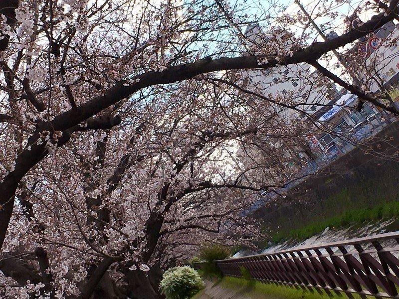 西高辻橋のソメイヨシノ 五分咲き 2019年4月3日(平年4月4日相当) 撮影:MKタクシー