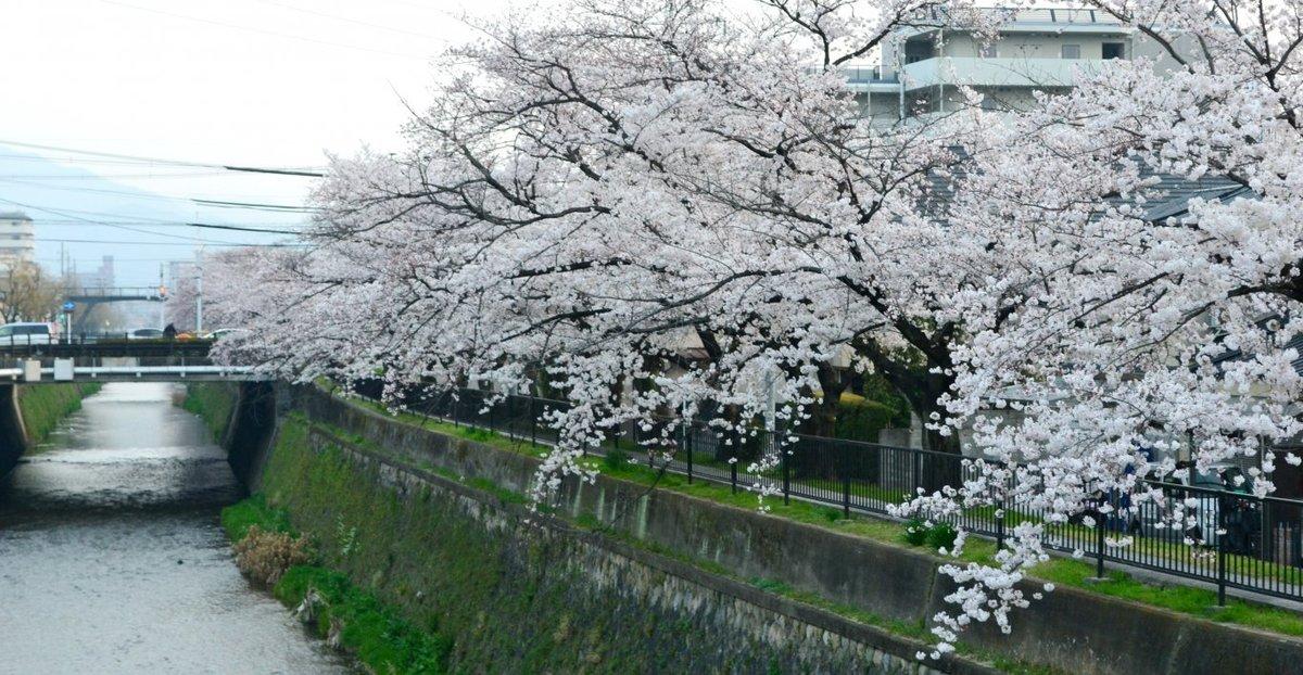 西京極橋のソメイヨシノ 見頃 2018年3月28日(平年4月5日相当) 撮影:MKタクシー