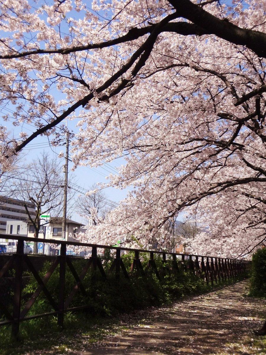 西高辻橋のソメイヨシノ 見頃 2012年4月12日(平年4月8日相当) 撮影:MKタクシー