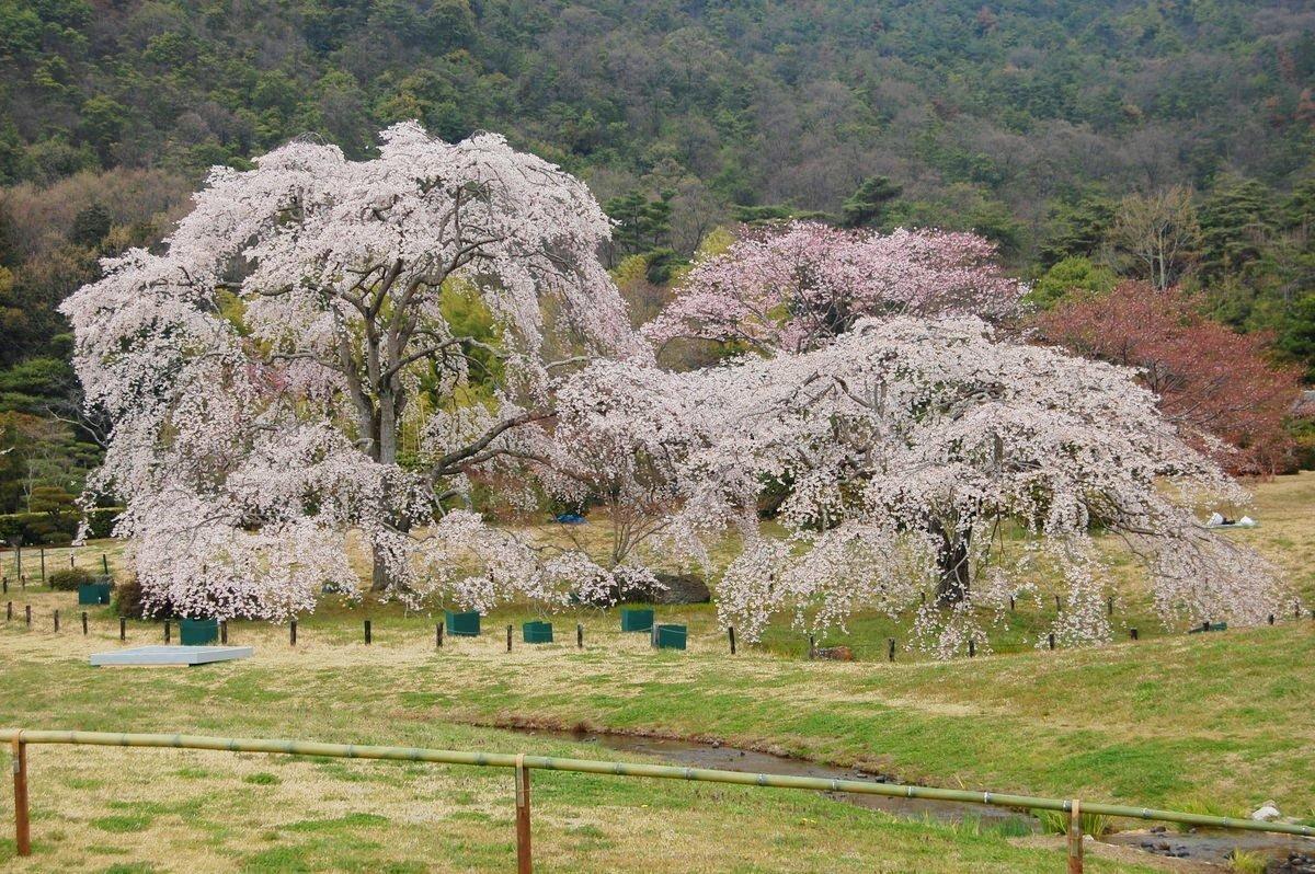 枝垂桜 見頃 2009年4月5日(平年4月4日相当) 撮影:MKタクシー