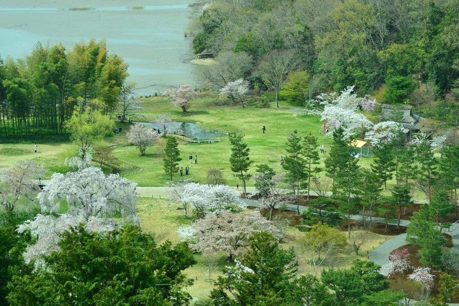 東山から見下ろした枝垂桜 見頃 2018年4月1日(平年4月10日相当) 撮影:MKタクシー
