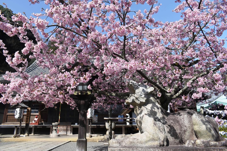 寒桜 見頃 2021年3月17日(平年3月28日相当) 撮影:MKタクシー