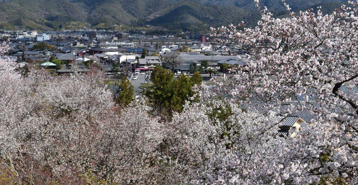 展望台からの桜 見頃 2019年3月29日(平年4月4日相当) 撮影:MKタクシー
