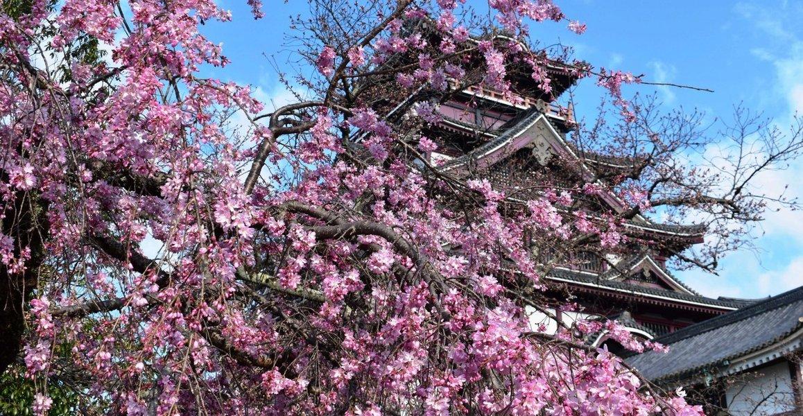 紅枝垂桜 見頃 2020年3月24日(平年3月30日相当) 撮影:MKタクシー