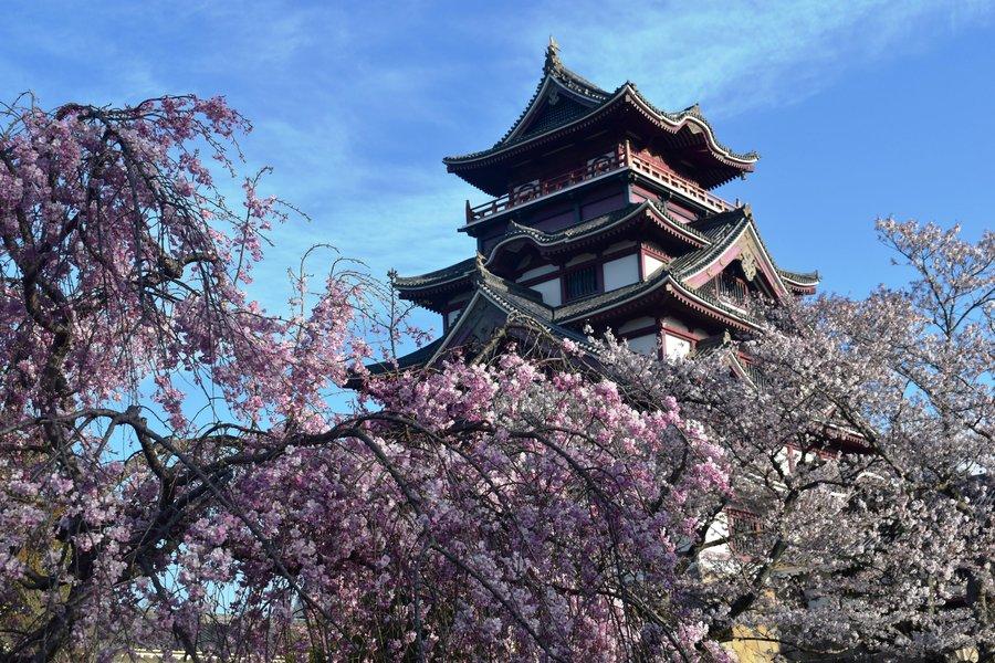 八重紅枝垂桜 五分咲き 2019年4月9日(平年4月9日相当) 撮影:MKタクシー