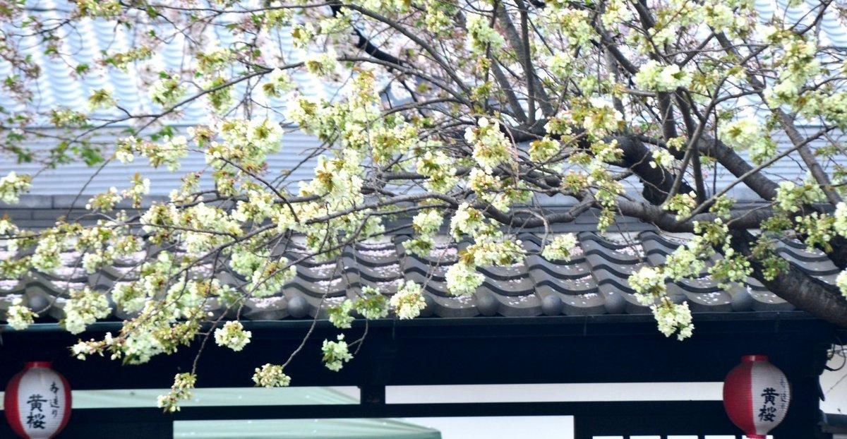 黄桜 見頃 2018年4月3日(平年4月12日相当) 撮影:MKタクシー