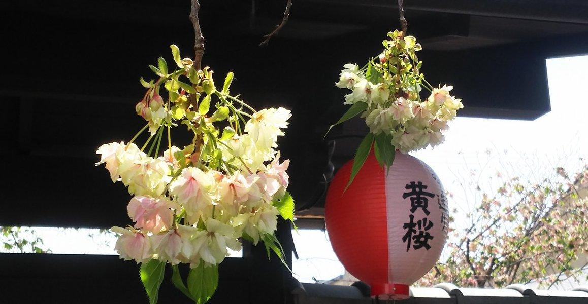 黄桜 散りはじめ 2019年4月22日(平年4月22日相当) 撮影:MKタクシー