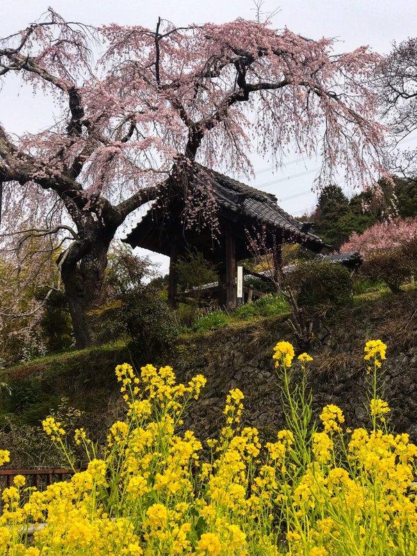 枝垂桜と菜の花 五分咲き 2017年4月3日(平年3月31日相当) 撮影:MKタクシー
