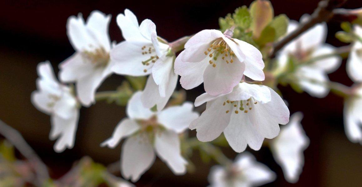 北野桜(社務所前) 咲きはじめ 2019年4月16日(平年4月15日相当) 撮影:MKタクシー