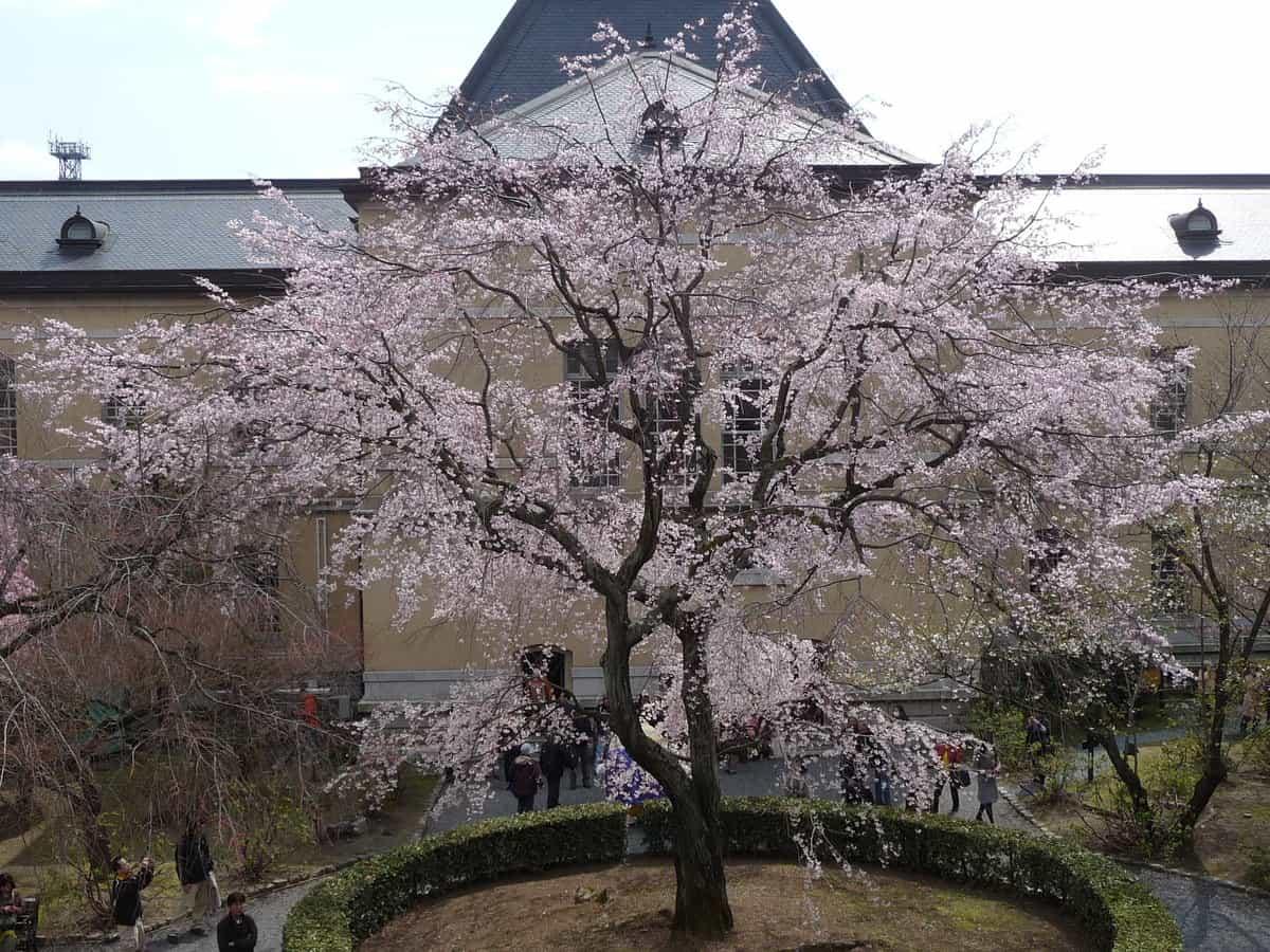 祇園しだれ桜 見頃 2010年3月27日(平成4月2日相当) 撮影:MKタクシー