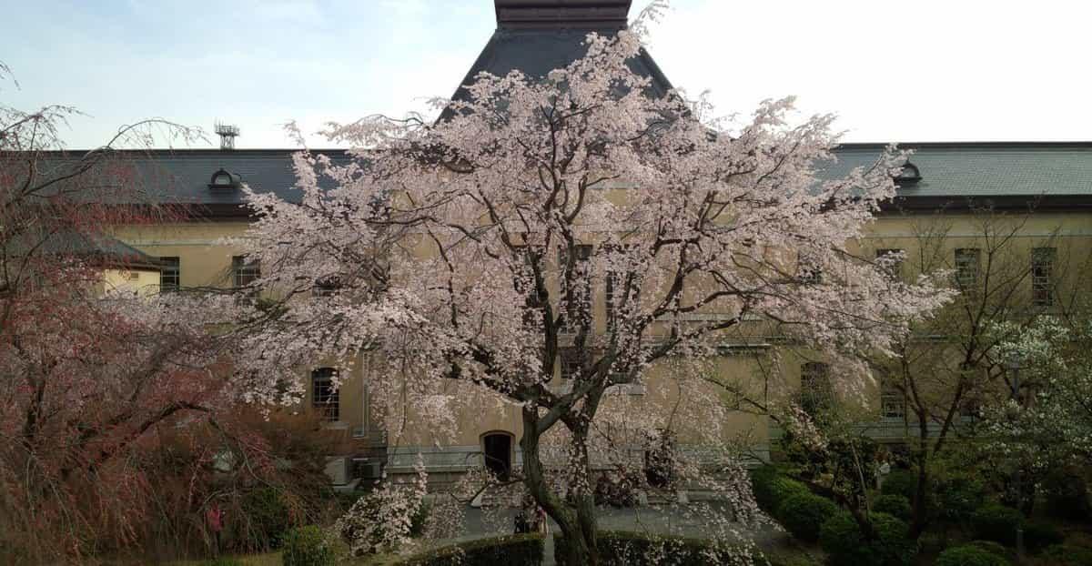 祇園しだれ桜 五分咲き 2019年3月31日(平年4月1日相当) 撮影:MKタクシー