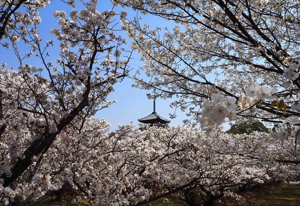 御室桜(仁和寺) 見頃 2018年4月3日(平年4月12日相当) 撮影:MKタクシー
