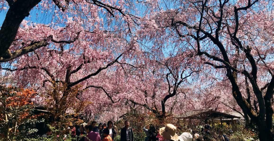 八重桜枝垂桜 見頃 2019年4月13日(平年4月12日相当) 撮影:MKタクシー