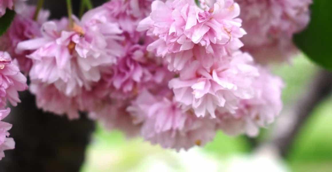 梅護寺数珠掛桜(京都府立植物園) 見頃過ぎ 2019年5月2日(平年5月1日相当) 撮影:MKタクシー