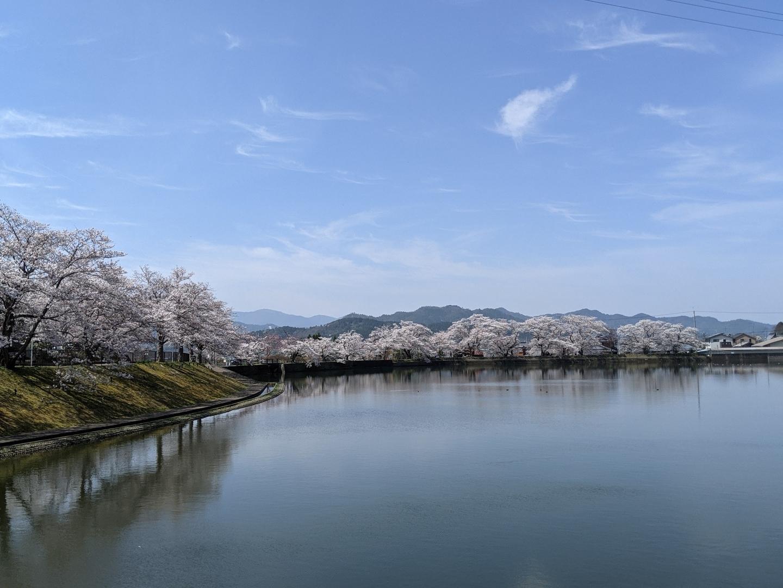平の沢池の桜