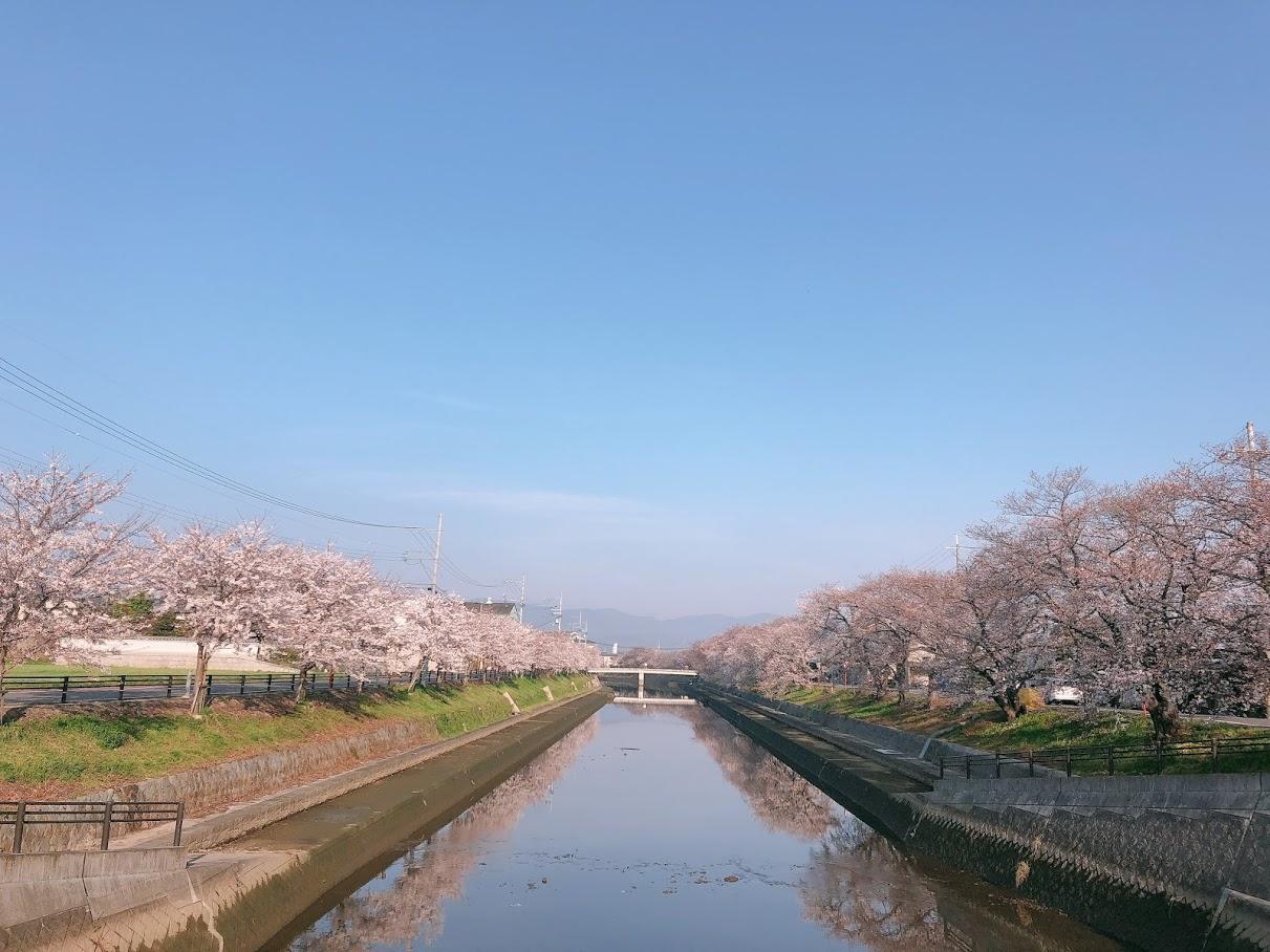 ソメイヨシノ 見頃 2021年3月27日(平年4月6日相当) 撮影:MKタクシー
