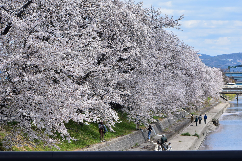 ソメイヨシノ 見頃 2020年4月5日(平年4月10日相当) 撮影:MKタクシー