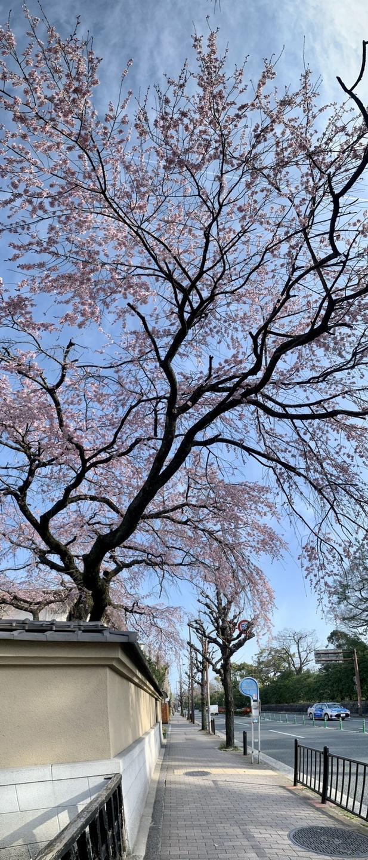 枝垂桜 見頃 2021年3月21日(平年4月2日相当) 撮影:MKタクシー