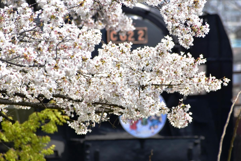 蒸気機関車とソメイヨシノ 見頃 2021年3月29日(平年4月10日相当) 撮影:MKタクシー