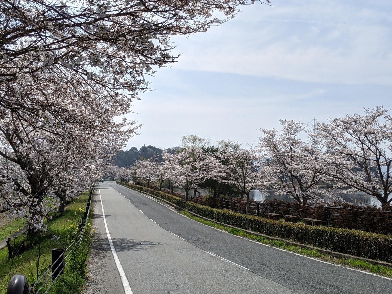 平の沢池の桜並木