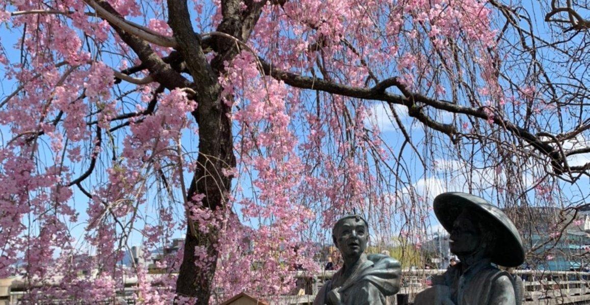 三条大橋の弥次喜多像と八重紅枝垂桜 2020年4月5日 撮影:MKタクシー