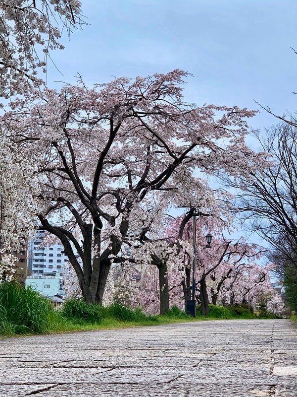 川端正面の枝垂桜 2020年3月30日 撮影:MKタクシー