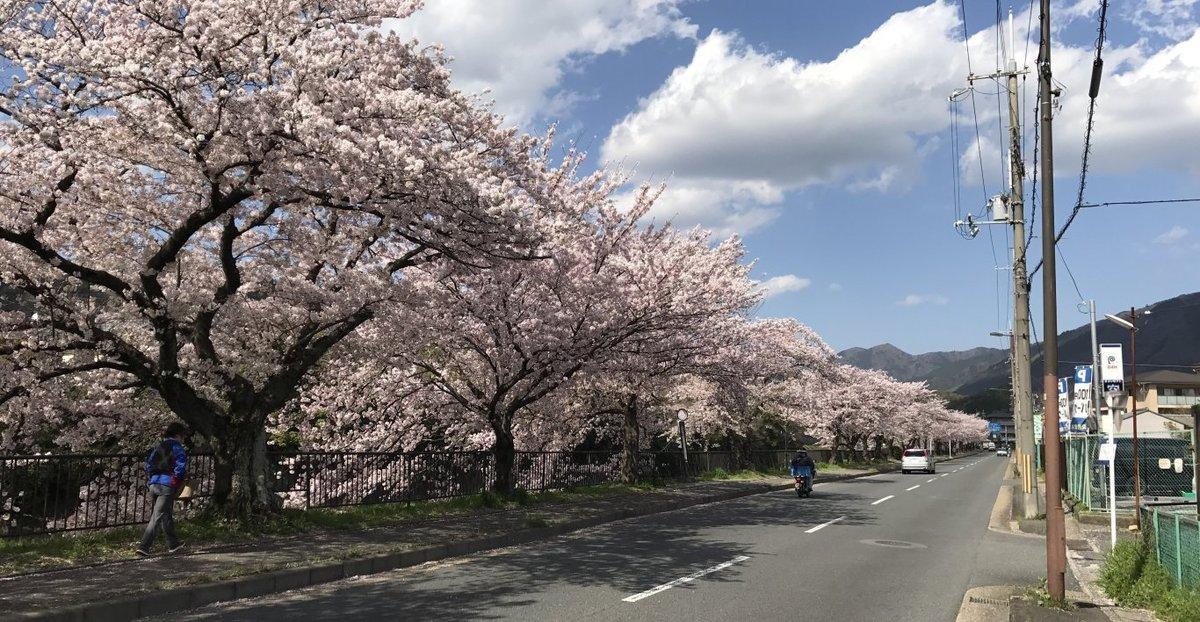 馬橋付近の桜並木 2017年4月13日 撮影:MKタクシー
