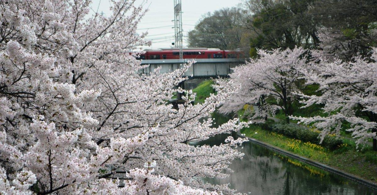 ソメイヨシノ(肥後橋) 見頃 2017年4月8日(平年4月8日相当) 撮影:MKタクシー