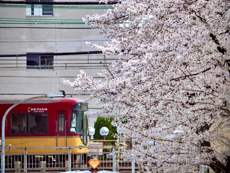 京阪8000系とMKタクシーとソメイヨシノ 見頃 2021年3月27日(平年4月8日相当) 撮影:MKタクシー
