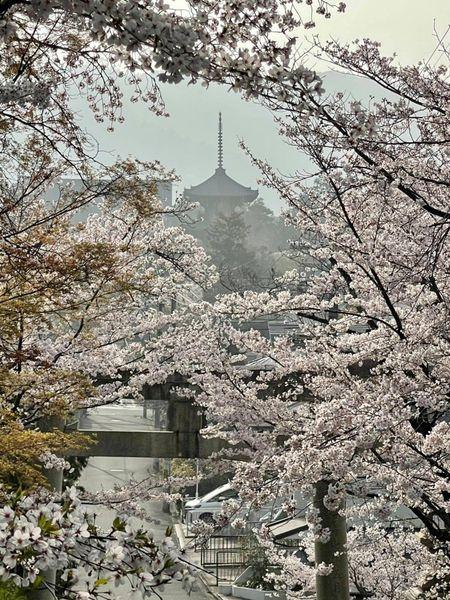 真如堂の三重塔とソメイヨシノ 見頃 2021年3月30日 撮影:MKタクシー