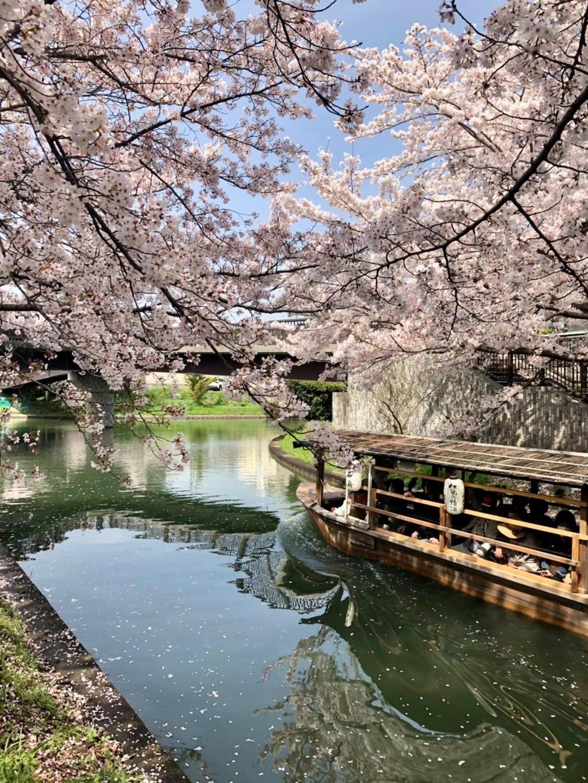 ソメイヨシノ(伏見であい橋) 見頃 2021年3月29日 撮影:MKタクシー
