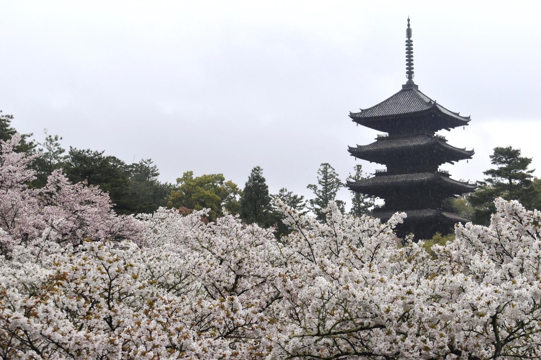 御室桜と五重塔 満開 2021年4月4日 撮影:MKタクシー