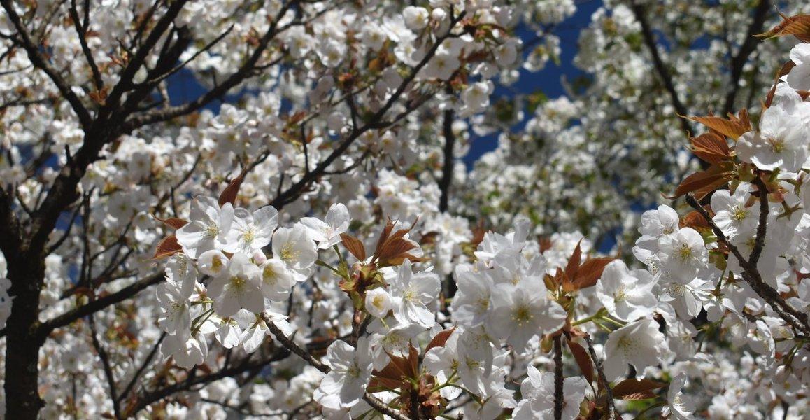 御室有明(京都府立植物園) 見頃 2019年4月13日(平年4月10日相当) 撮影:MKタクシー