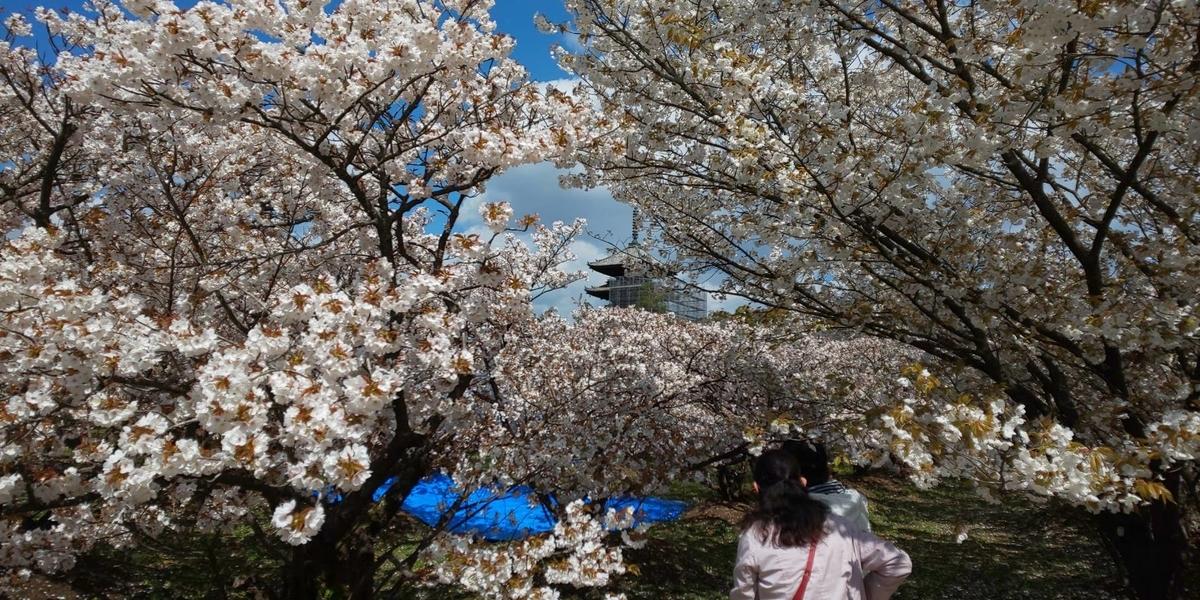 御室桜 見頃 2019年4月15日(平年4月12日相当) 撮影:MKタクシー