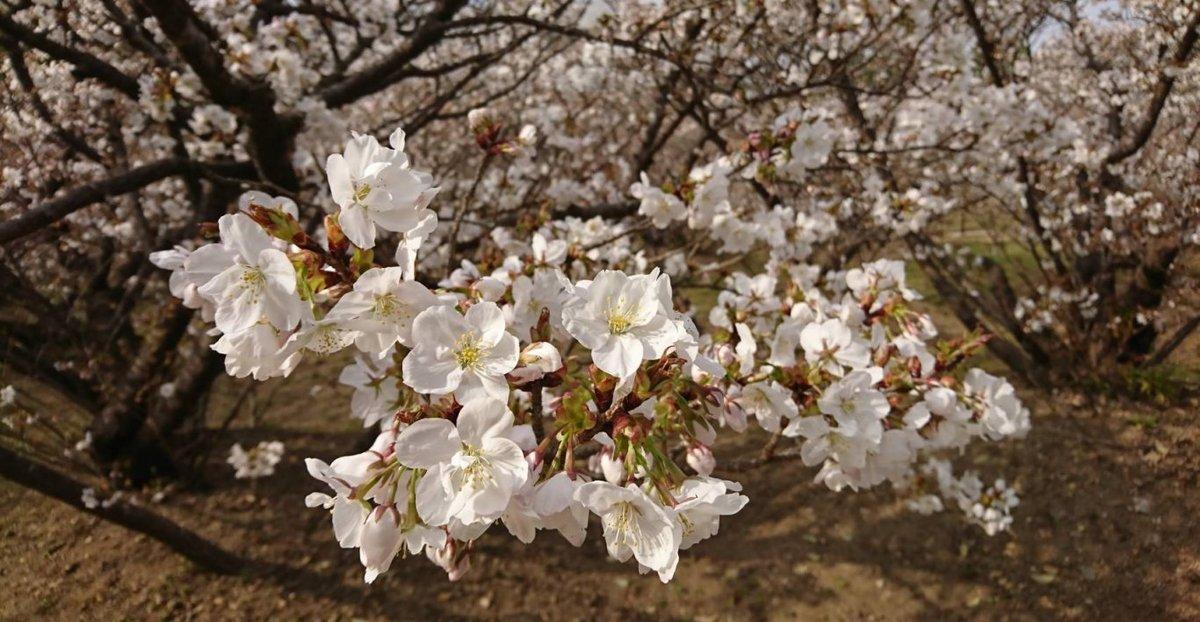 御室桜 三分咲き 2008年4月1日(平年4月7日相当) 撮影:MKタクシー