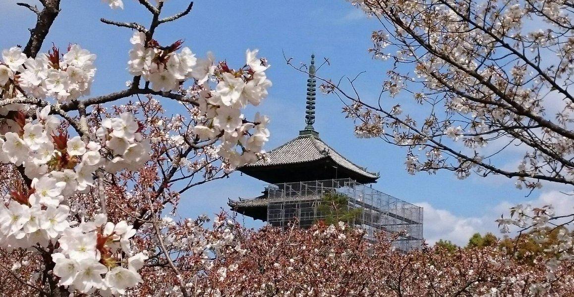 御室桜 五分咲き 2019年4月12日(平年4月10日相当) 撮影:MKタクシー