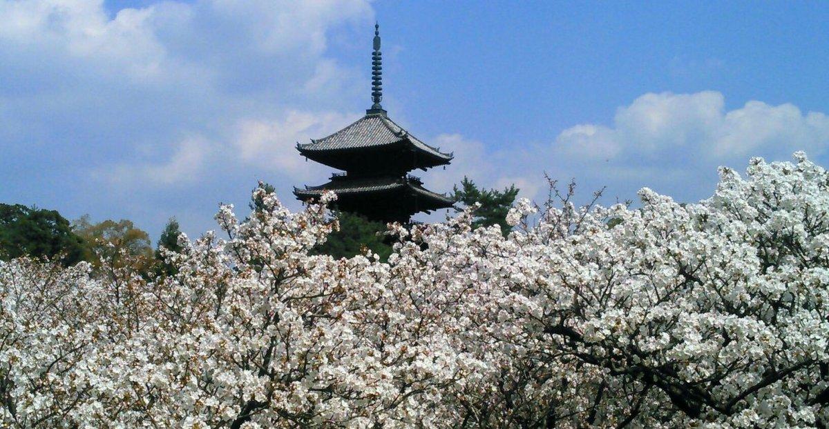 御室桜 満開 2019年4月18日(平年4月11日相当) 撮影:MKタクシー