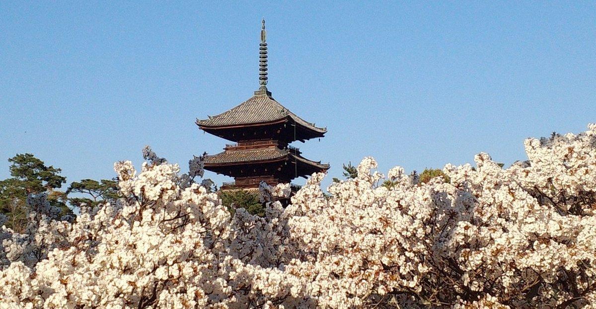 御室桜 満開 2014年4月15日(平年4月15日相当) 撮影:MKタクシー