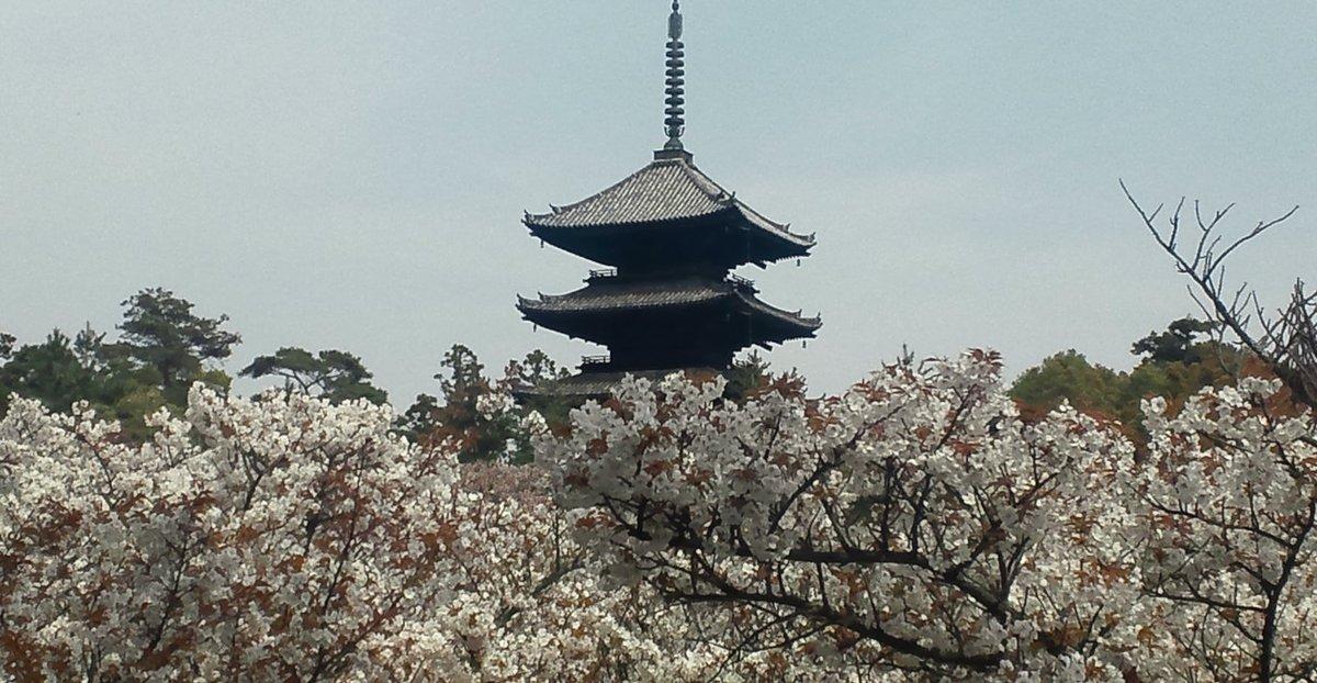 御室桜 満開 2011年4月21日(平年4月13日相当) 撮影:MKタクシー