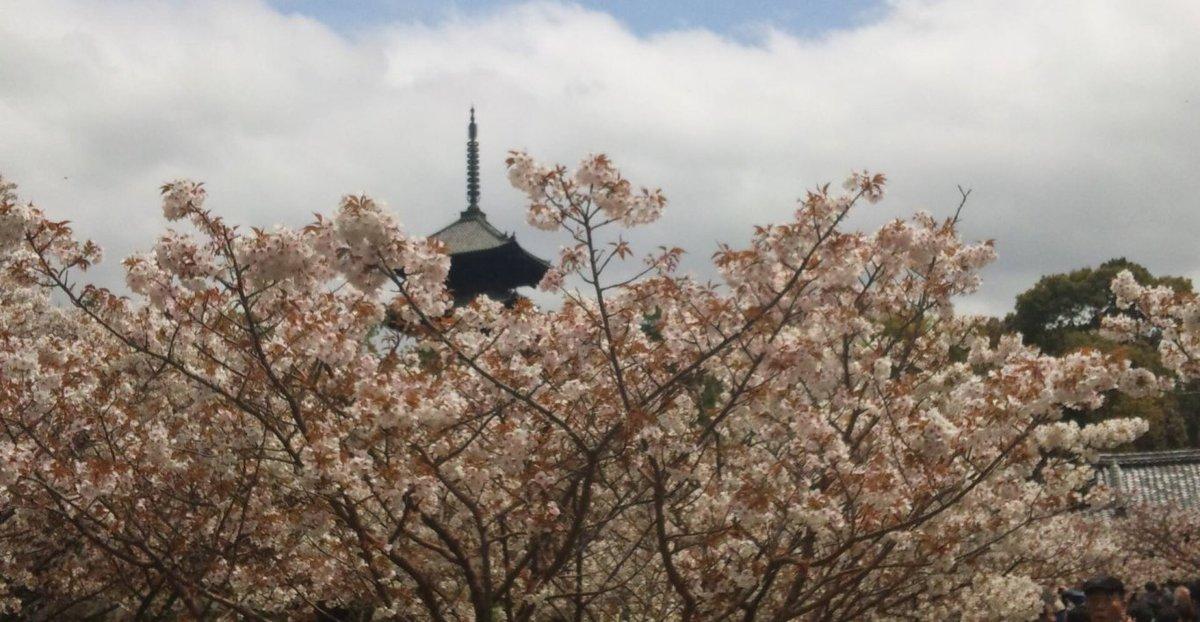 御室桜 散りはじめ 2012年4月21日(平年4月16日相当) 撮影:MKタクシー