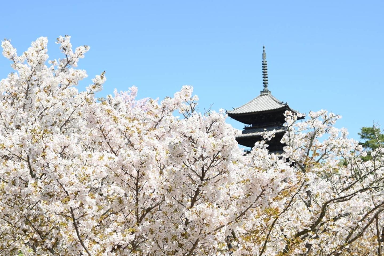 御室桜 満開 2021年4月5日(平年4月13日相当) 撮影:MKタクシー