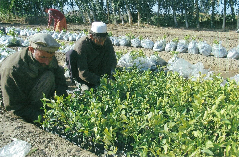 苗木を移す作業員たち。6,600本のレモンが植えられる予定(2021年1月27日)