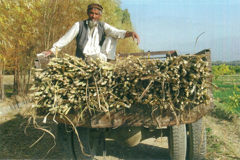 PMSでは例年黒砂糖の生産も行われているが、今年収穫したサトウキビはバザールのジュース屋に出荷された(2021年1月21日)