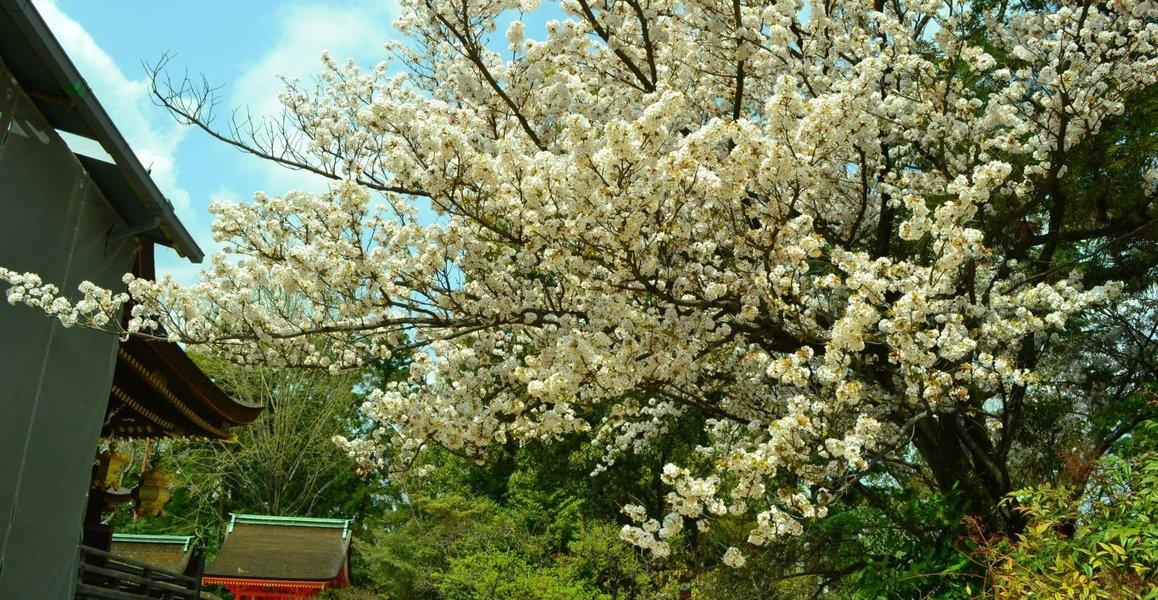 山桜(ヤマザクラ) 見頃 2018年4月1日(平年4月7日相当) 撮影:MKタクシー