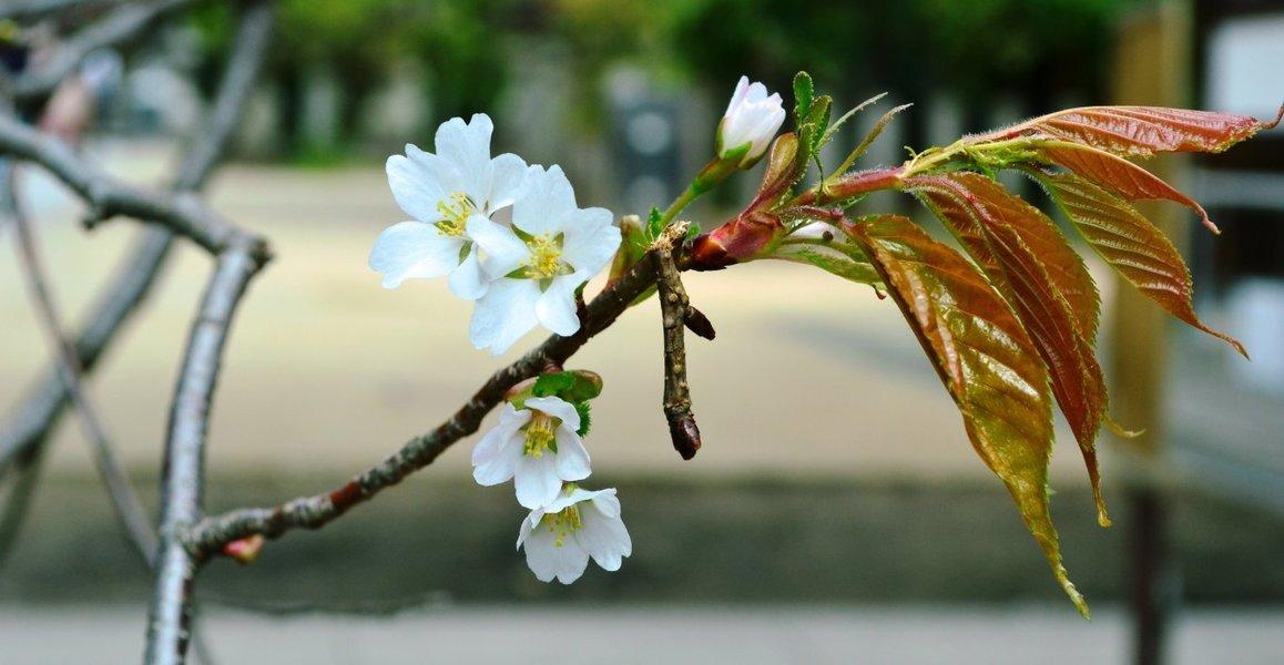 北野桜(社務所前) つぼみ 2018年4月1日(平年4月7日相当) 撮影:MKタクシー