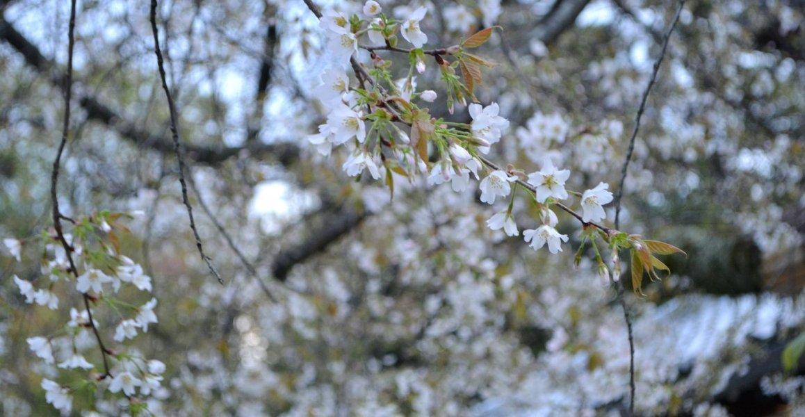 北野桜(社務所前) 五分咲き 2017年4月19日(平年4月15日相当) 撮影:MKタクシー